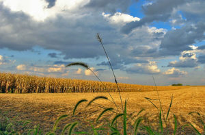 In the United States, corn is widely sought as an alternative to oil. Photo by tlindenbaum from Flickr.