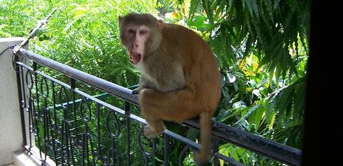 monkey-in-delhi.jpg