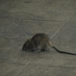 Friday Fun: New York's Next Top Rat