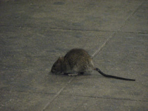 A NYC subway rat turns lets a camera capture his good side. Photo via ericskiff.