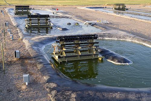 Algae biofuel production at Texas A&M University. Photo by AgriLife.
