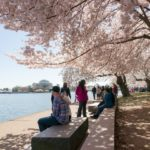 The cherry blossoms blooming in Washington, DC. The city urban tree canopy is about 35 percent. Photo by Karen Blaha/Flickr.